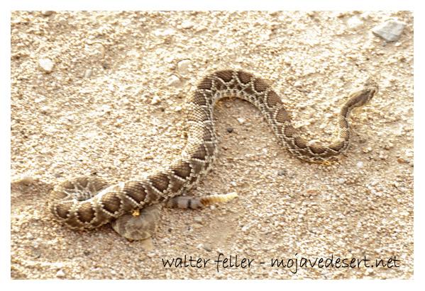 Mojave Rattlesnake Mojave Green Desert Wildlife - Map of rattlesnakes in us