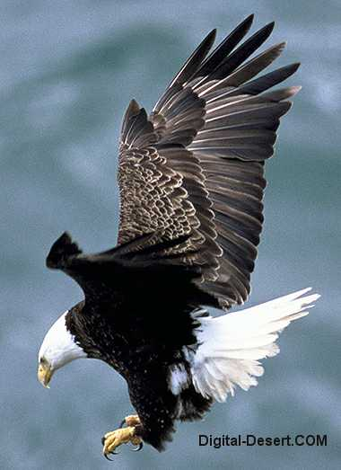 golden eagle bird. Bald Eagle - USFWS Photo