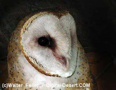 Image of: Tawny Owl Mojave Desert Owls Nocturnal Birds Of Prey