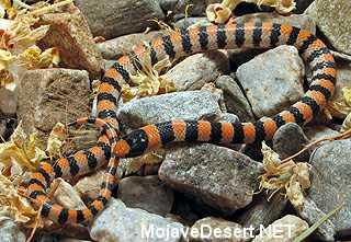 Western (Variable) Ground Snake Sonora semiannulata
