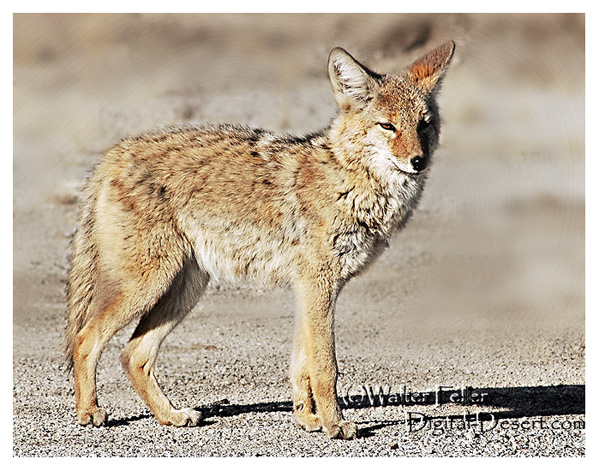 coyotes diet in the north america desert?